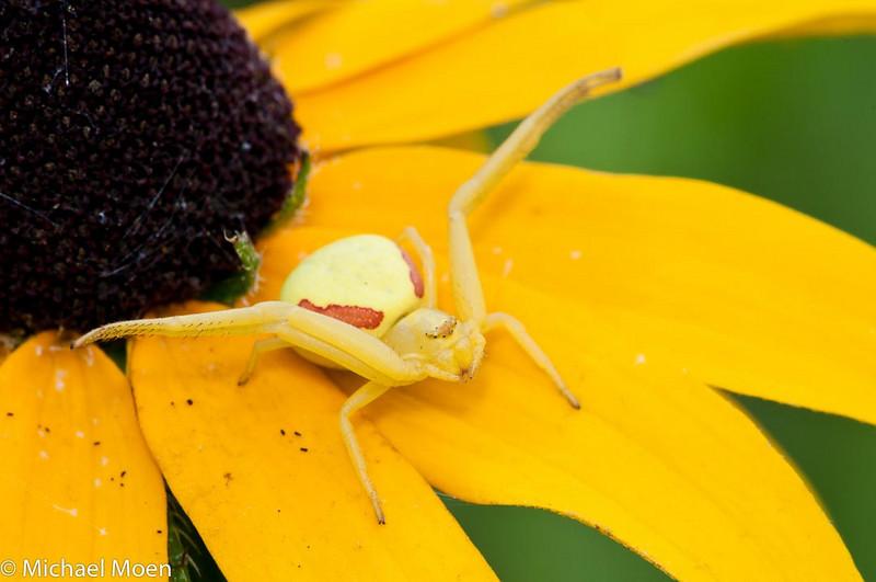 Female Crab Spider