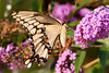 Tiger swallowtail (black phase) and butterfly weed