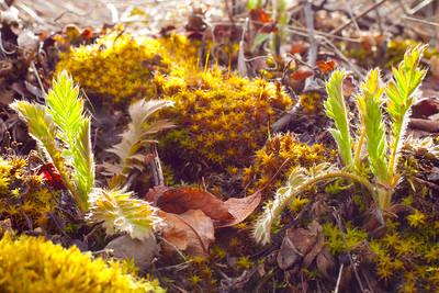 Some early shoots of Apache Plume and star moss, back lite buy the late afternoon sun.