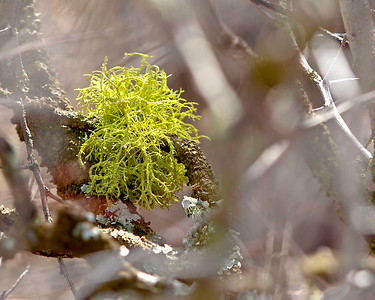 Lime Green Moss in Hawthorne