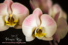 ORCHID_veronica_king_VLK3555