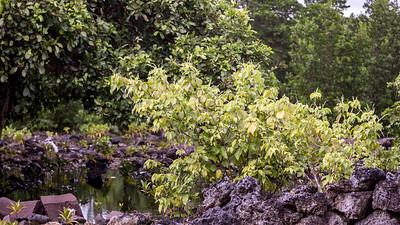 Ungeh, Allophyllus timoriensis, an indigenous shrub of Micronesia, growing at Nan Madol, Pohnpei, FSM