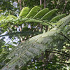 Katar, Cyathea nigricans, an indigenous tree fern if Micronesia, growing on Sokehs Mountain, Pohndollap, Pohnpei FSM