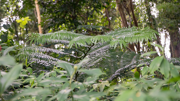 Paiued, Angiopteris evects, an indigenous fern of Micronesia, growing at Sokehs Mountain, Pohndollap, Pohnpei, FSM