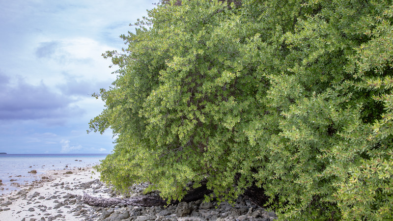 Ngi, Pemphis acidula, an indigenous shrub of Micronesia and other Pacific islands, growing on northeastern island of Ant Atoll,Pohnpei, FSM