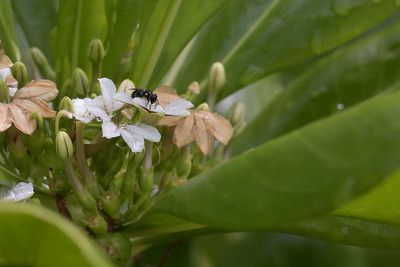 Unidentifed Colletidae Hyalaeus-like insect on the northeastern island of Ant Atoll, Pohnpei, FSM