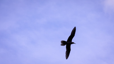 Black Noddy, Anous minutus, an indigenous sea bird in Micronesia and other Pacific islands, near Tofol, Kosrae, FSM
