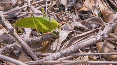 Marianas katydid, Salomona guamensis, an endemic insect of the Marianas, at Anderson Air Force Base, Guam