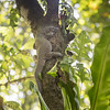 Monitor lizard, Varanus indicus, a nonnative lizard in Micronesia, at Yela Conservation Area, Kosrae, FSM