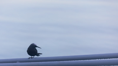 Bedaoch or Black Noddy, Anous minutus, an indigenous sea bird in Micronesia and other Pacific islands, in front of the Palau Pacific Resort, Koror, Palau