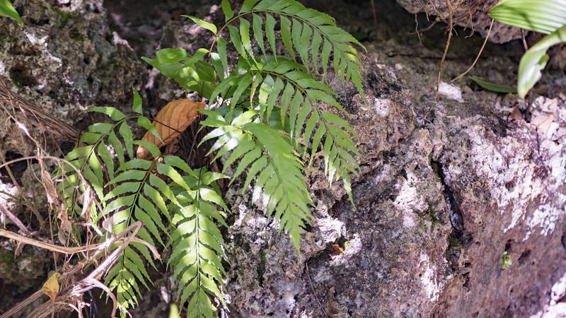 Spleenwort, Asplenium polyodon, an indigenous fern of Micronesia, growing on the Rock Islands, Palau
