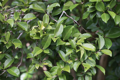 Hodda, Ficus tinctoria neo-ebudarum, an indigenous tree of the Marianas, growing at Anderson's Air Force Base, Guam