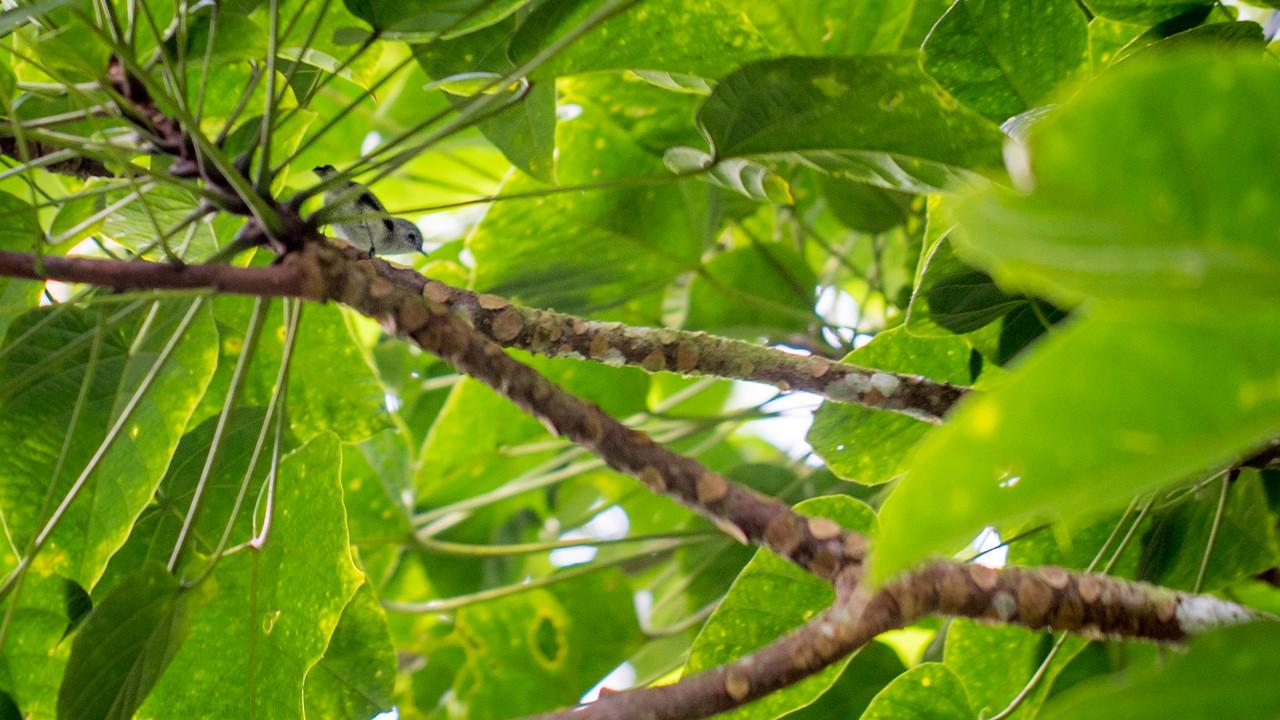 Dusky White-eye, Zosterops cinereus ponapensis, an endemic forest bird of Pohnpei, along the Sokesh Mountain trail, Pohndollap, Pohnpei, FSM