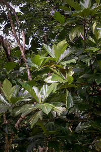 Lemmai, Artocarpus altilis, a nonnative breadfruit of the Marianas and othe Pacific Islands, growing at Anderson Air Force Base, Guam