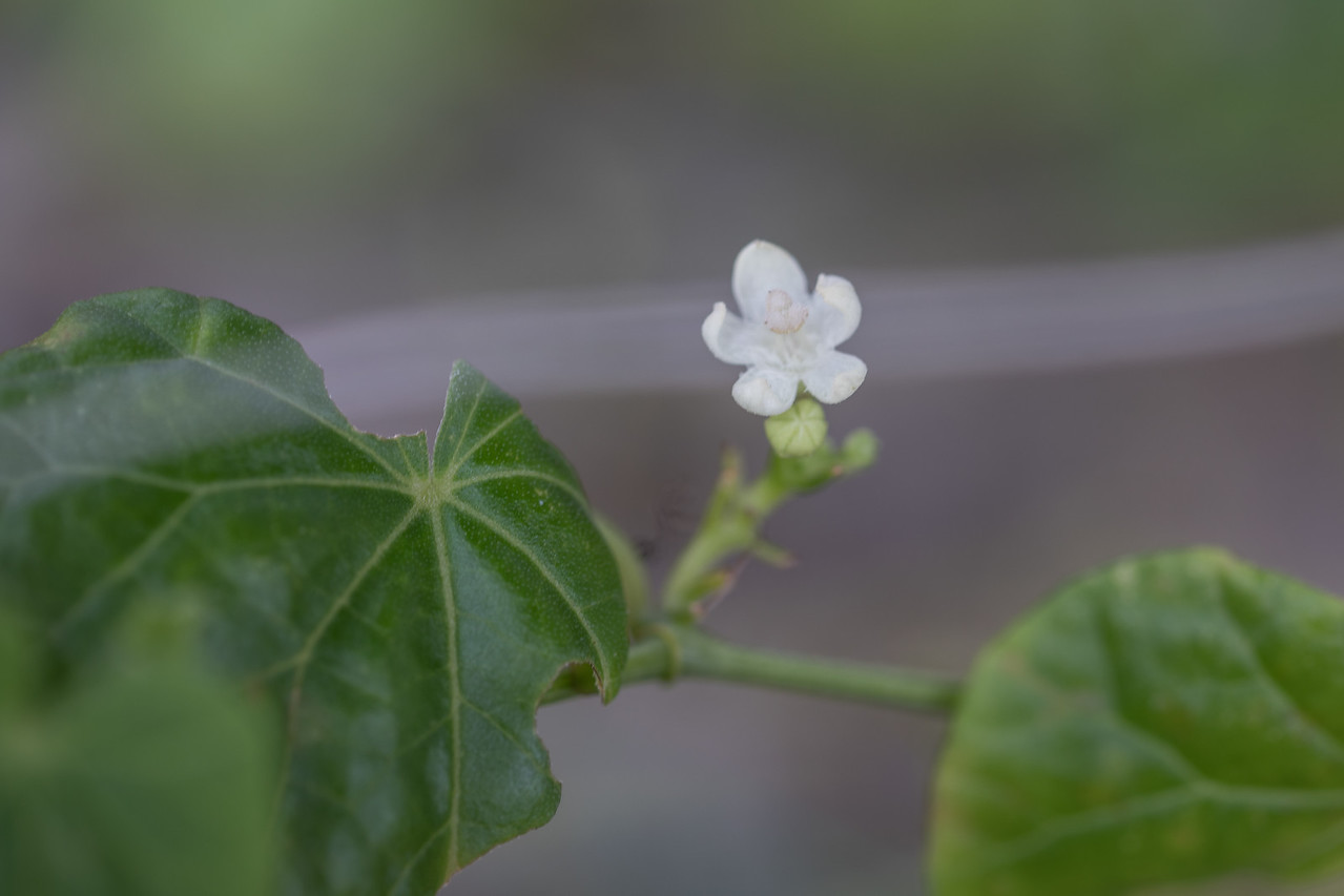 Ahgaga, Zehneria guamense, an indigenous vine of the Marianas and other Pacific islands, growing at the GPEPP nursery, Guam