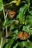 butterflies04