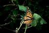 butterflies06