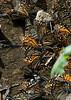 butterflies09