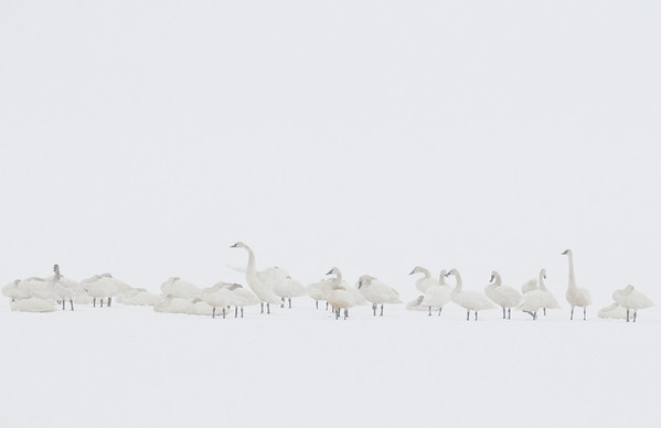 Tundra Swans on Payette Lake in Snow Storm