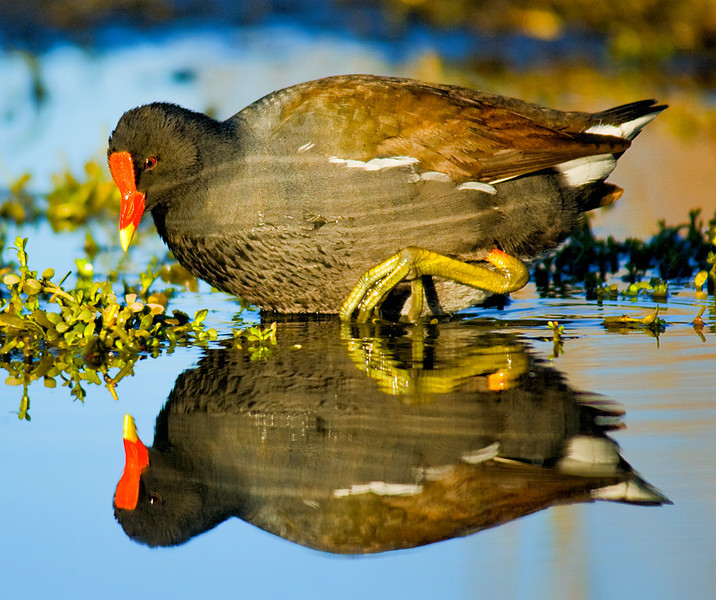 Common Gallinule at Lindo Lake, Santee, CA