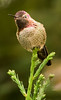 Anna's Hummingbird, Big Sur, CA