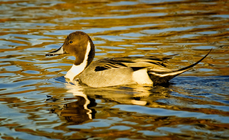 Northern pintail, Lindo Lake, Lakeside, California
