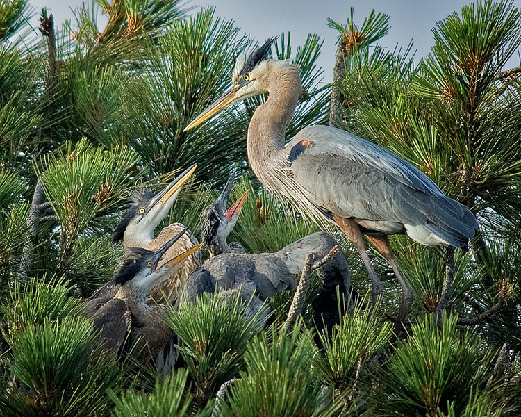 Mother and baby Great Blue Herons in nest in Torrey Pine, Mission Bay, CA