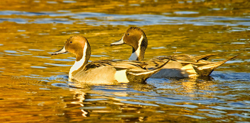Northern pintails, Lindo Lake, Lakeside, California
