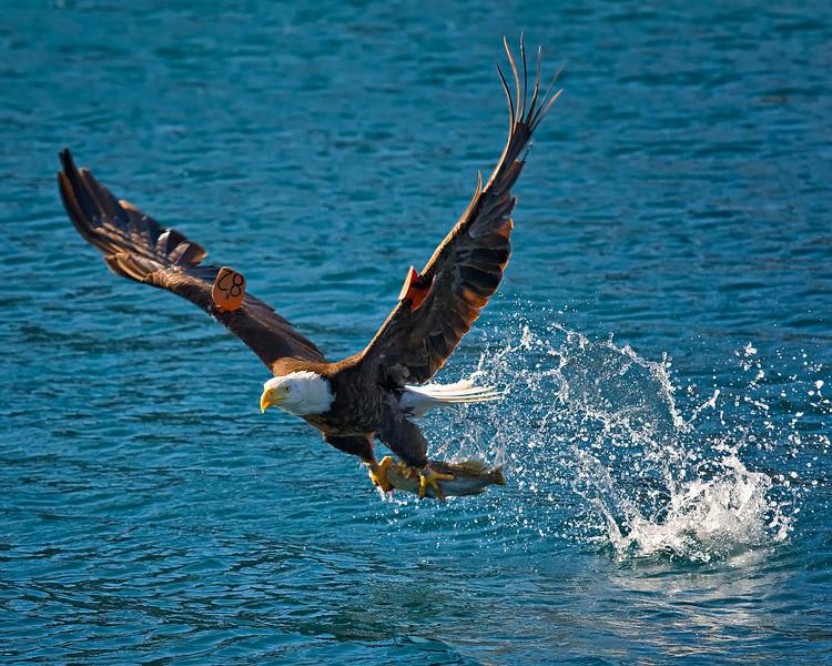 Bald eagle at Catalina Harbor, Santa Catalina Island, CA