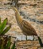 American Bittern, Viera Wetlands, FL