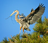 Great Blue Heron returning to its nest in Torrey Pine, Mission Bay, CA