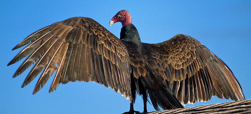 Turkey Vulture, Merritt Island, FL