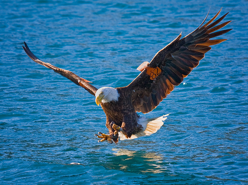 Bald eagle at Catalina Harbor, Santa Catalina Island, CA