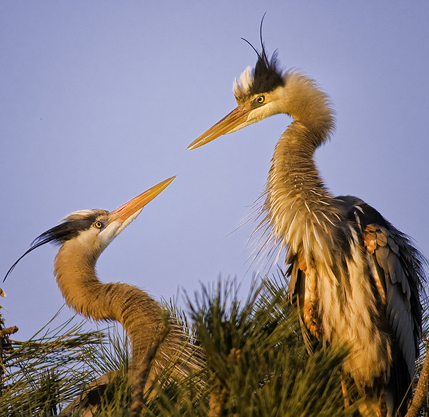 Great Blue Herons in Torrey Pine, Mission Bay, CA