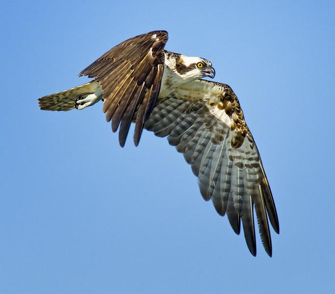 Osprey flyby in Agua Hedionda Lagoon, Carlsbad, CA