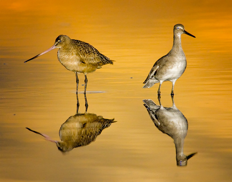 Marbled Godwit and Willet at San Diego River mouth, San Diego, CA