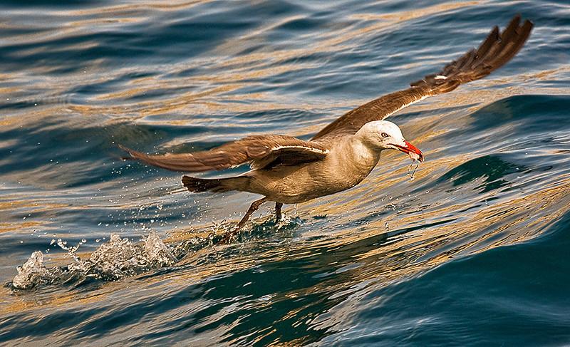 Herrmann's Gull at Catalina Island, CA