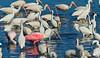 Roseate Spoonbill, White Ibis' and Snowy Egrets, Merritt Island, FL