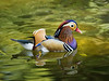 Mandarin Duck at San Diego Zoo