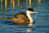 Western grebe at Sweetwater Reservoir, San Diego, CA.