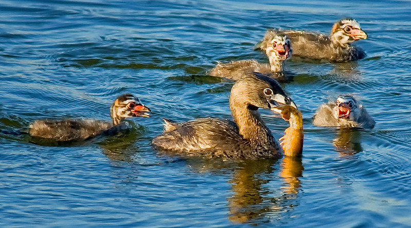 Mother Pied-billed grebe feeding her babies at Sweetwater Reservoir, San Diego, CA.