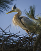 Great Blue Heron on nest in Torrey Pine, Mission Bay, CA
