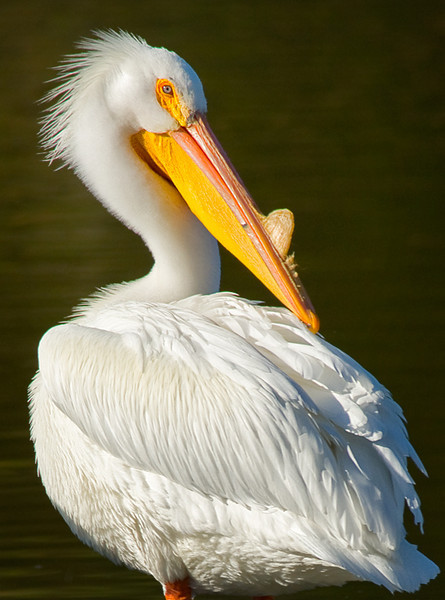 White Pelican at Lindo Lake, Santee, CA