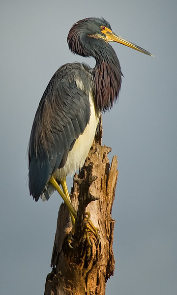 Tricolored Heron, Viera Wetlands, FL