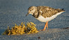 Least Sandpiper, Cape Canaveral National Seashore, FL