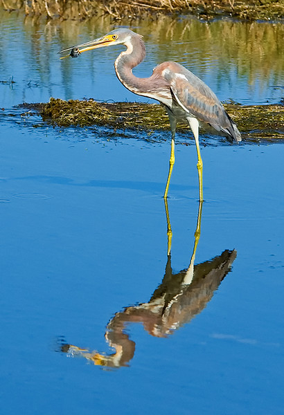Tricolored Heron with a snack, Merritt Island, FL