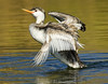 Grebe in backwaters of the Colorado River, AZ