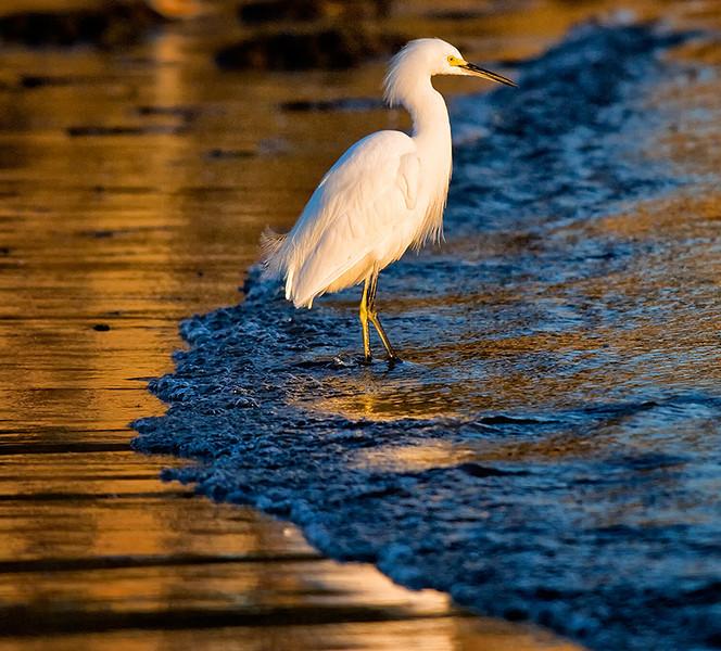 Snowy egret Mission Bay, CA