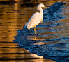Snowy egret Mission Bay, CA