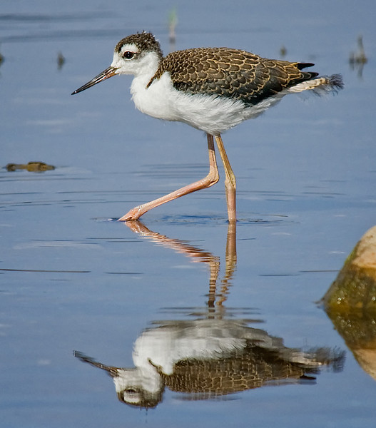 Juvenile Black-necked stilt at Sweetwater Reservoir, San Diego, CA.